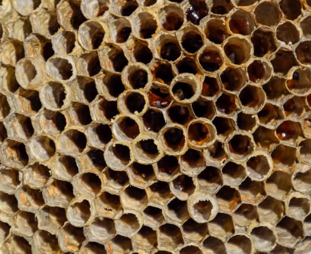 das nest ist aspen, polist. die espe nisten am ende der brutzeit. vorräte an honig in waben. aspen honig. vespa - eierstich stock-fotos und bilder