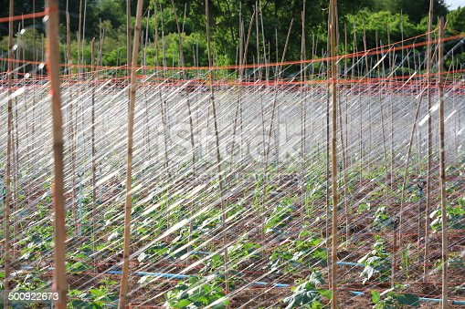 istock The Net for Green Cucumber Plant. 500922673