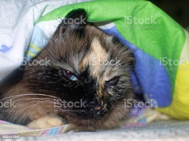 The neva masquerade cat is peeking under the blanket picture id836441840?b=1&k=6&m=836441840&s=612x612&h=g1b5ij6lntbjtwtcmfedqsua4venha6v56bej0uy1z0=