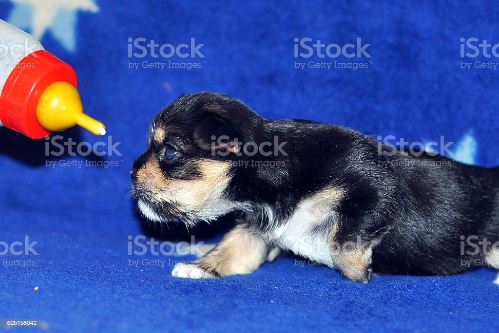 The newborn puppy sucks milk from a small bottle. stock photo
