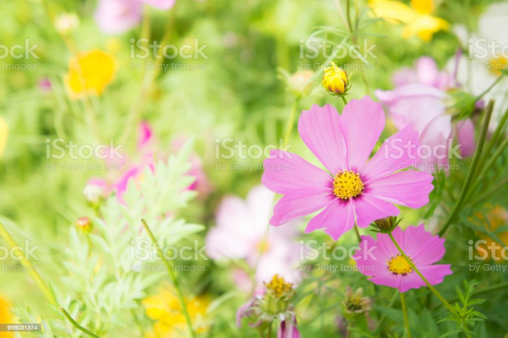 The nice day and nice flowers cosmos colorful on field pink flowers the nice day and nice flowers cosmos colorful on field pink flowers daisy flowers nature garden mightylinksfo