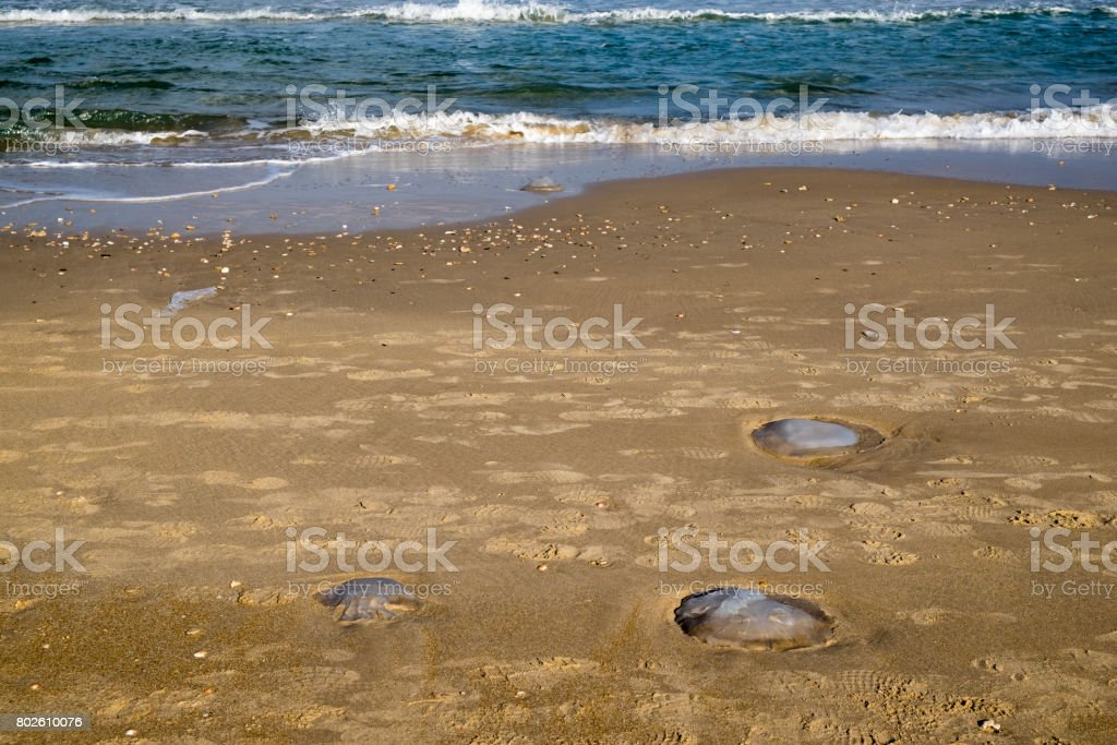 The nomadic jellyfish swarms the Israeli shores every summer eventually getting stuck on the shore stock photo