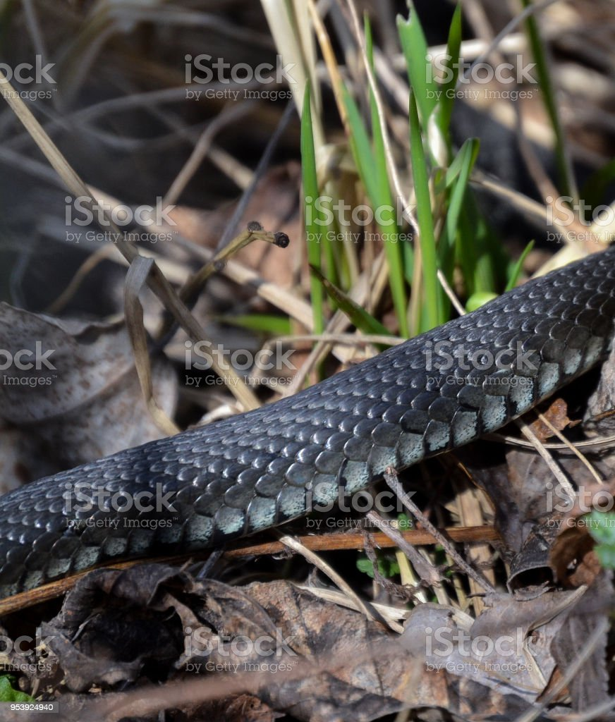 The non-poisonous snake in the grass close up stock photo