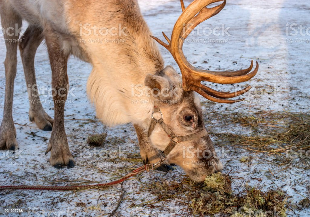 The northern deer is moss. The reindeer likes moss very much. Moss is in the snow. On the head of the reindeer there are horns. stock photo