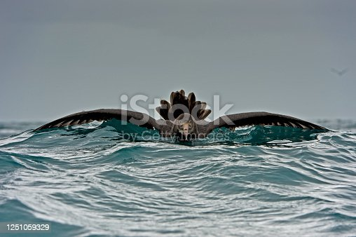 The Northern Giant Petrel (Macronectes halli), also known as the Hall's Giant Petrel, is a large seabird of the southern oceans.  Tasman Sea. Swimming.