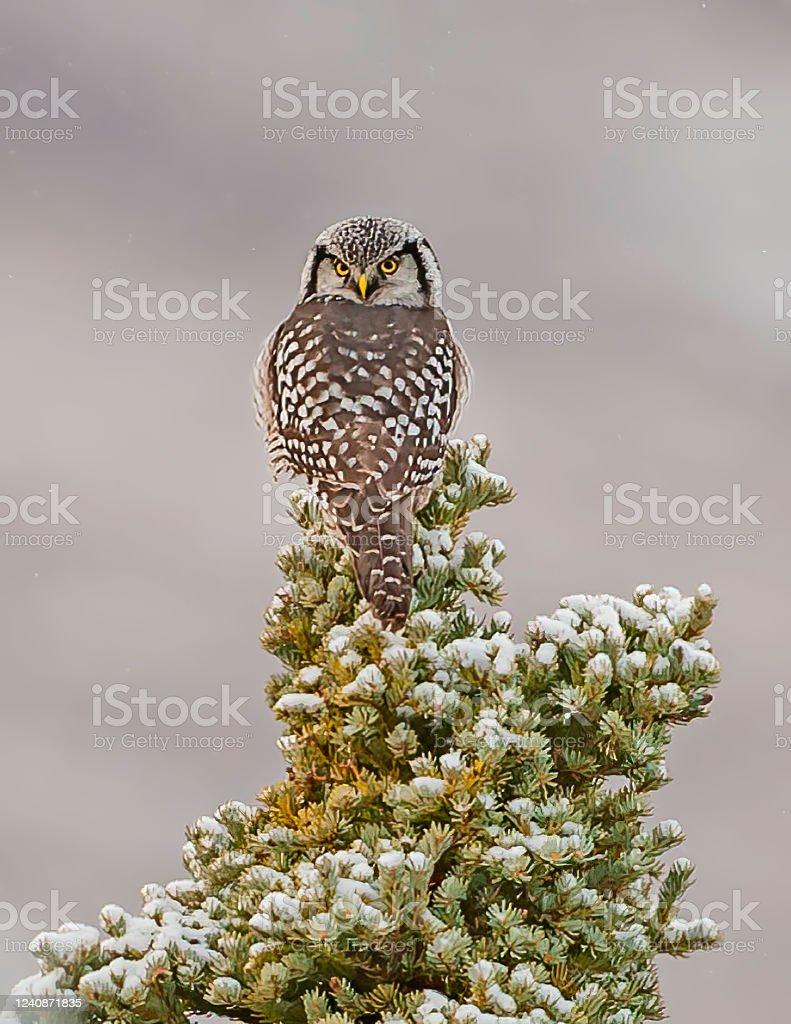 The Northern Hawkowl Or Northern Hawk Owl In North America ...