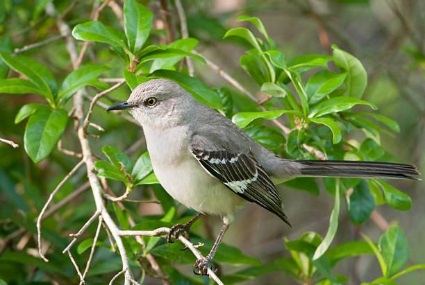 Mockingbird du Nord - Photo
