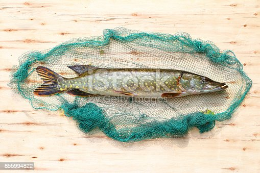 istock The Northern Pike - Esox Lucius. 855994822