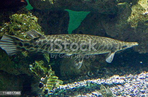 139888169istockphoto The Northern Pike (Esox Lucius) 1146517065