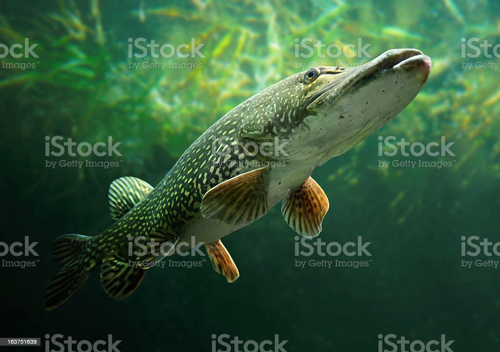 The Northern Pike (Esox Lucius). royalty-free stock photo