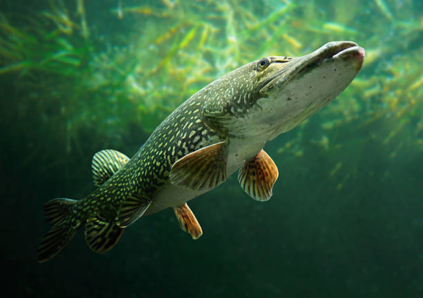 The Northern Pike (Esox Lucius). Underwater photo of a big Northern Pike (Esox Lucius). pike fish stock pictures, royalty-free photos & images