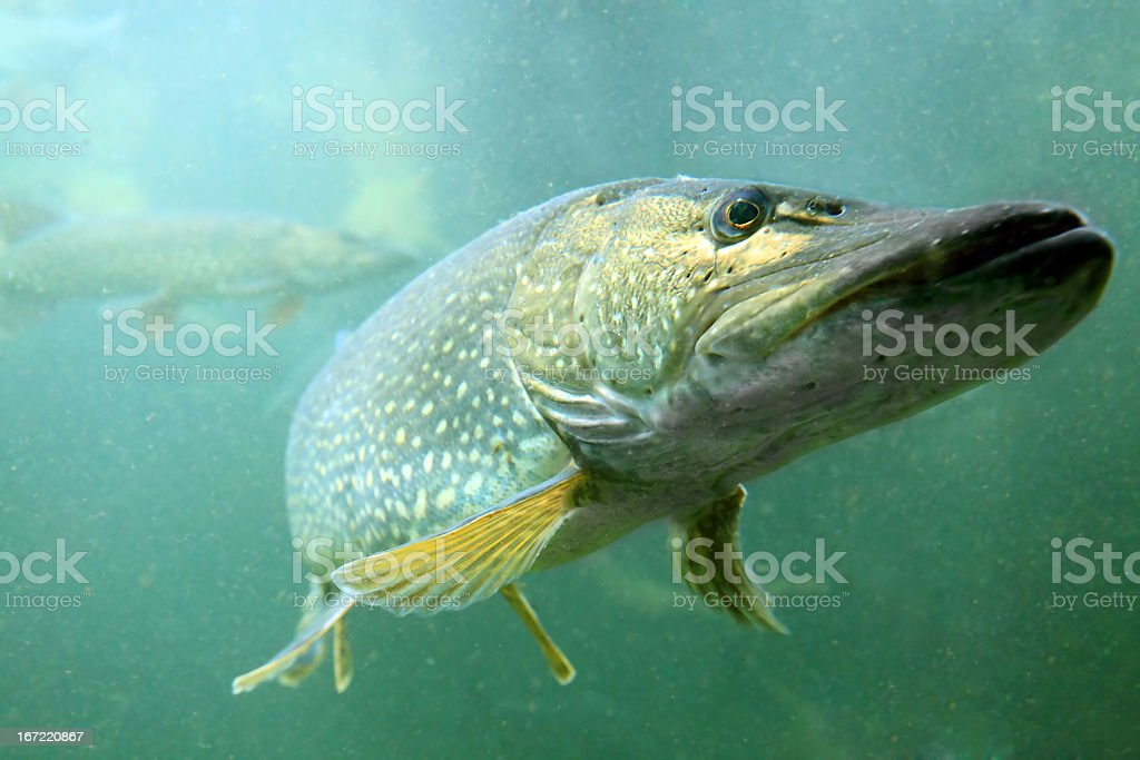 The Northern Pike (Esox Lucius). stock photo