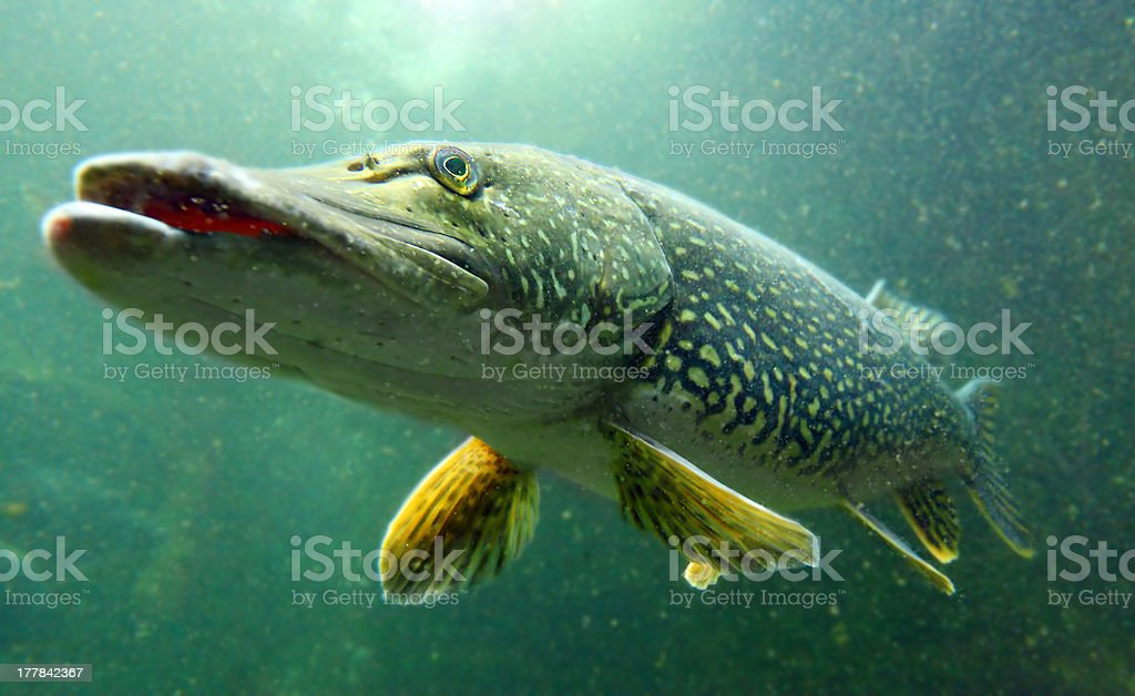 Northern Pike (Esox Lucius). – Foto