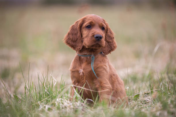The nose of a cute puppy is muddy The nose of a cute puppy is muddy irish setter stock pictures, royalty-free photos & images