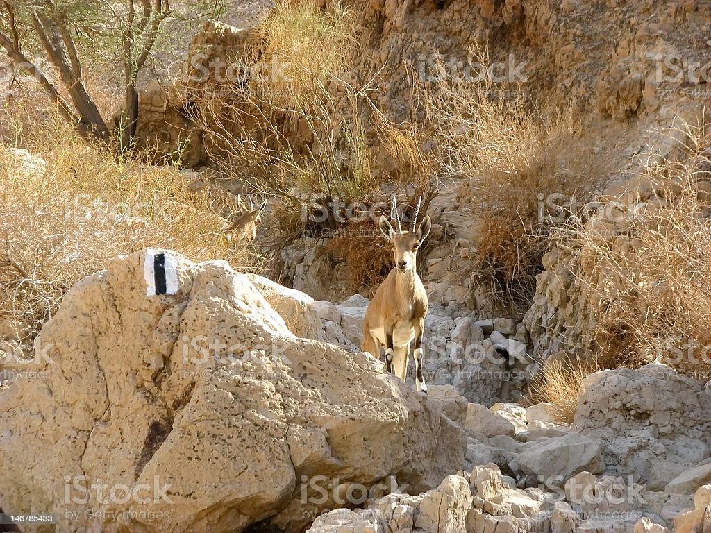 The Nubian ibex in Judean Desert stock photo
