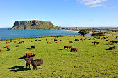 Tasmanian tourism attraction, the nut, with cows. This is located in Stanley in Tasmania, Australia.