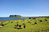 """""""Tasmanian tourism attraction, the nut, with cows. This is located in Stanley in Tasmania, Australia.Related images:"""""""