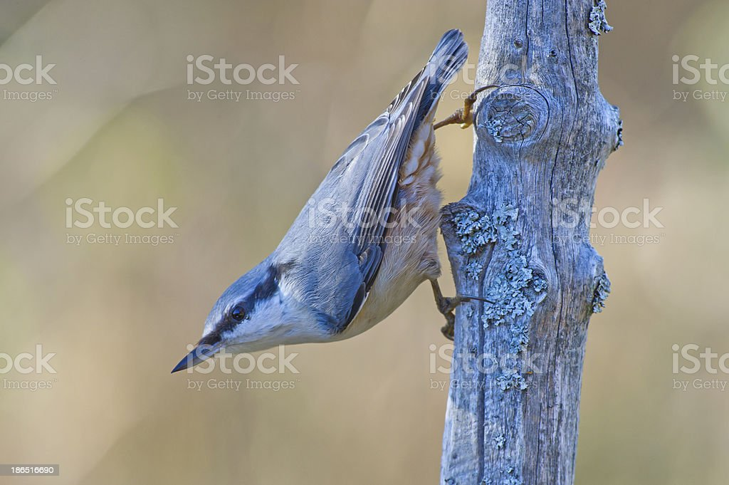 The Nuthatch royalty-free stock photo