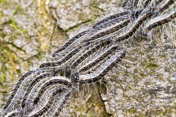 o oak processionary - lagarta - fotografias e filmes do acervo