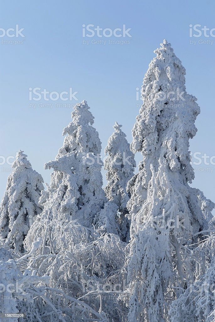 The old fir trees covered with thick layer of rime royalty-free stock photo