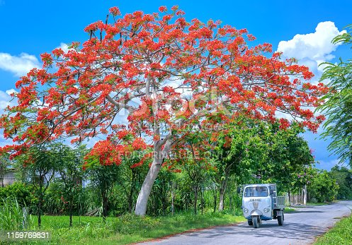 825525754 istock photo The old Lam car ran through royal Poinciana trees blooming sunny morning 1159769831