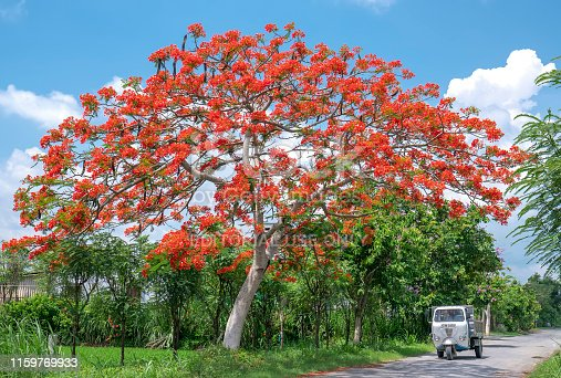 825525754 istock photo The old Lam car ran through royal Poinciana trees blooming sunny morning 1159769933