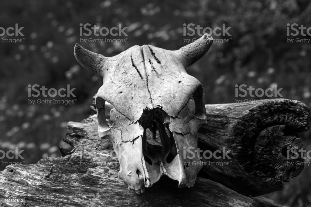 the old skull of the animal has fallen apart from time lies on a dilapidated stump against a red brick wall royalty-free stock photo