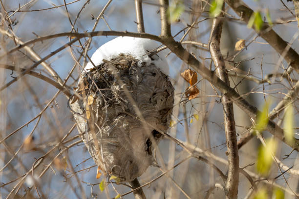 das ältere hornissennest bedeckte den schnee - eierstich stock-fotos und bilder