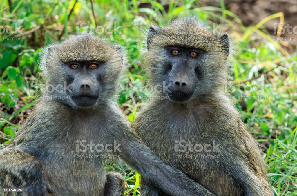 The olive baboon, also called the Anubis baboon stock photo