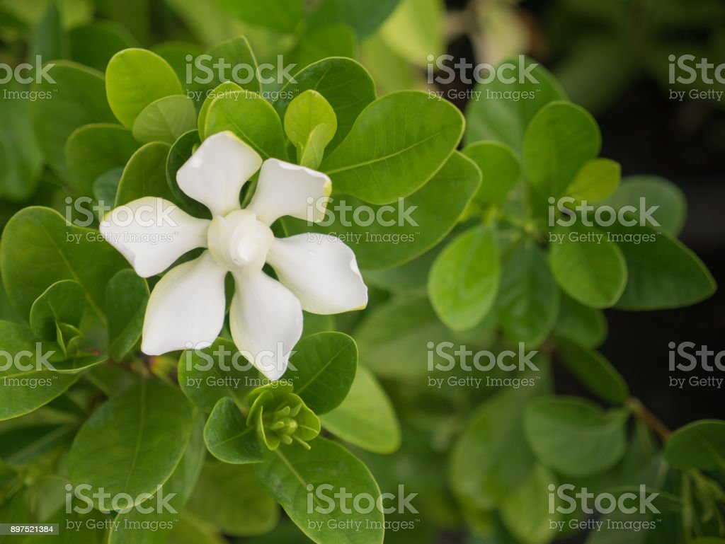 The One White Gardenia Flower Blooming in The FieldThe One White...