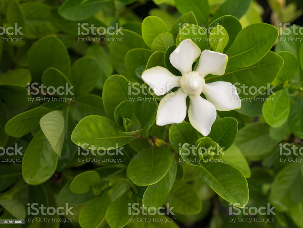 The One White Gardenia Flower Blooming in The Field