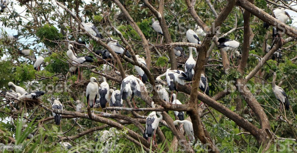The open billed stork bird perch in the nest and on the branch of tree. stock photo