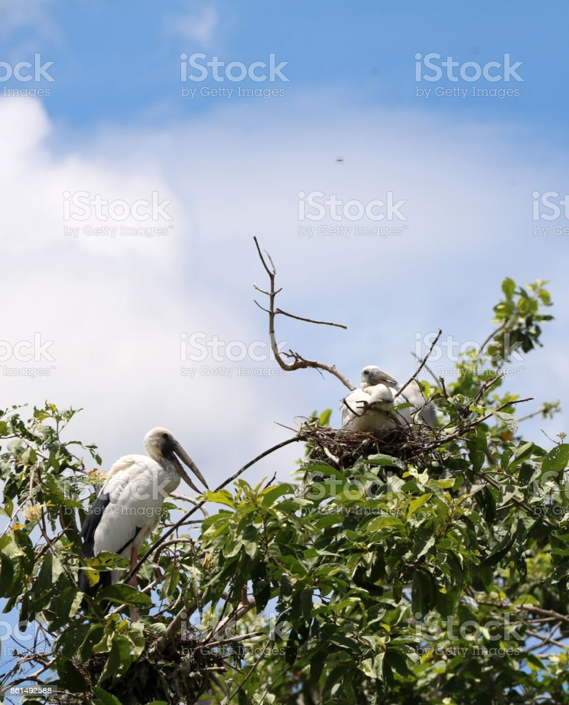 The open billed stork bird perch in the nest at the top of the tree on blue sky and white cloud background. stock photo