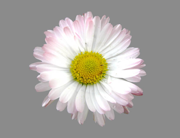 The open Daisy flower. stock photo