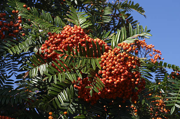 orange rowan berries green foliage blue sky - whiteway stock photos and pictures