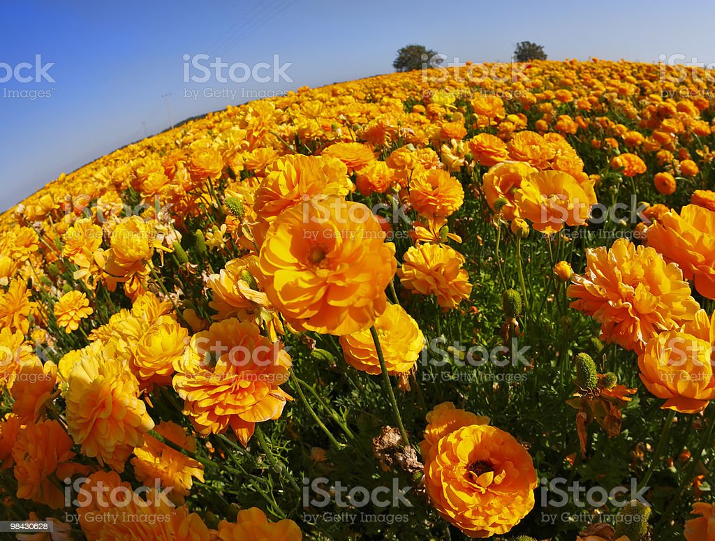 The orange buttercups on a sunset royalty-free stock photo