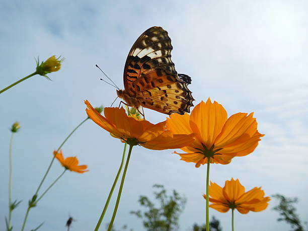 The orange butterfly on the orange cosmos – Foto