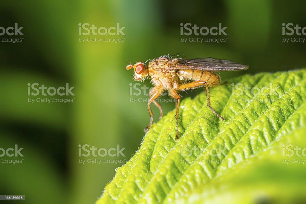 The Orange Muscid Fly. Phaonia pallida royalty-free stock photo