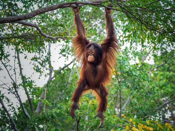the orangutan is playing on the tree. - ape stock pictures, royalty-free photos & images