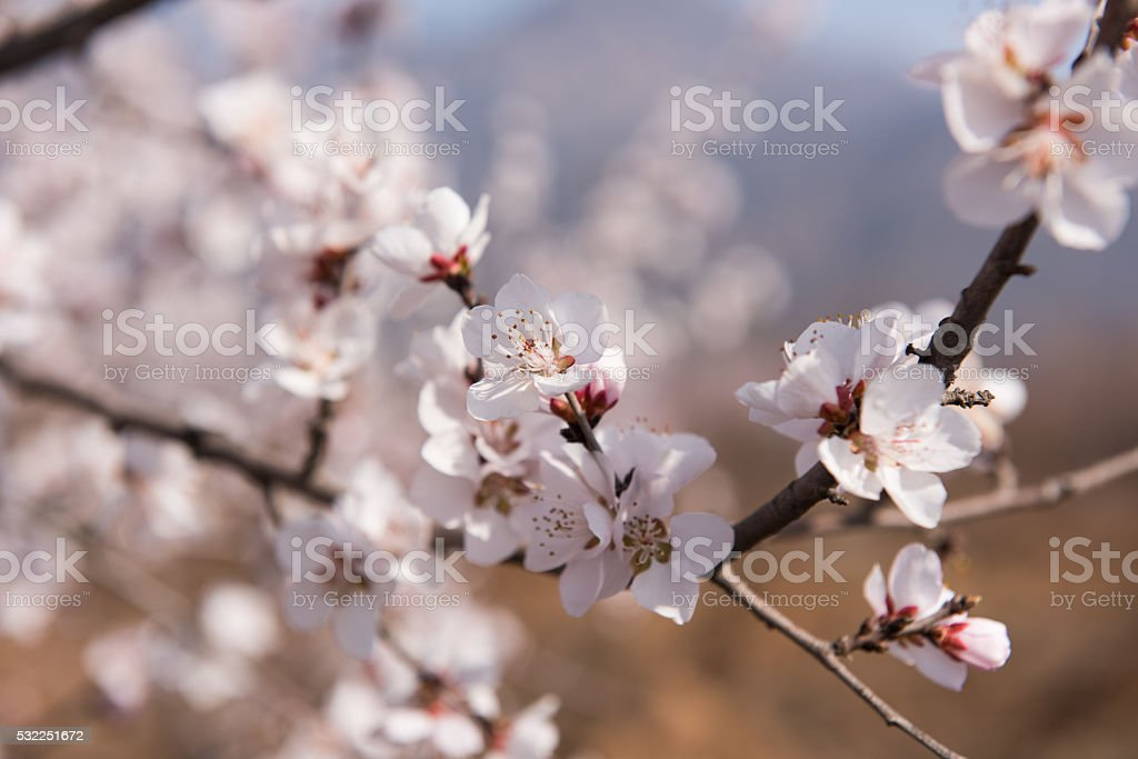 The orchard of apricot flower stock photo