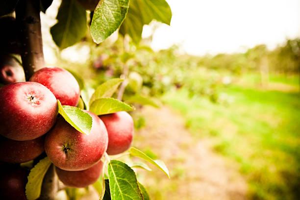 l'orchard - frutteto foto e immagini stock