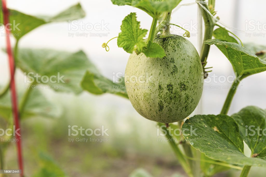 The organic melon in greenhouse royalty-free stock photo