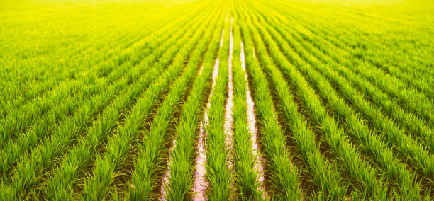 de organische paddy rijst landbouwgrond - sawa stockfoto's en -beelden