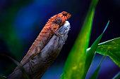 The oriental garden lizard, eastern garden lizard or changeable lizard (Calotes versicolor)