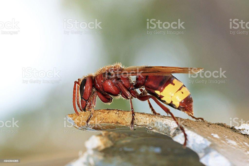 El Oriental hornet - foto de stock