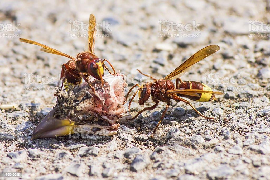 The Oriental hornet Vespa orientalis royalty-free stock photo