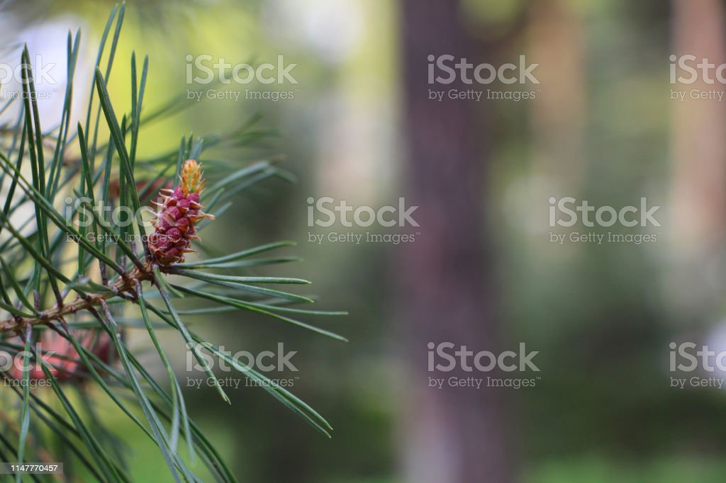 The origin of pine cones. New pine cones. Pine branch with young...