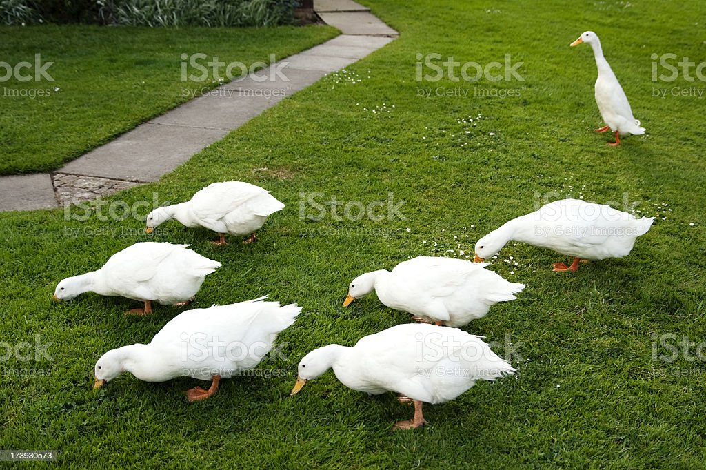 The outcast: Indian Runner Duck ignored by Aylesbury-Pekins stock photo