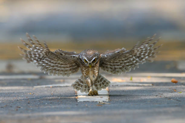 The owl flew its prey on the ground picture id1211964485?b=1&k=6&m=1211964485&s=612x612&w=0&h=g7fj2glcoeunzgvbcts0aouk7shufmhs8d0xxxhomtc=