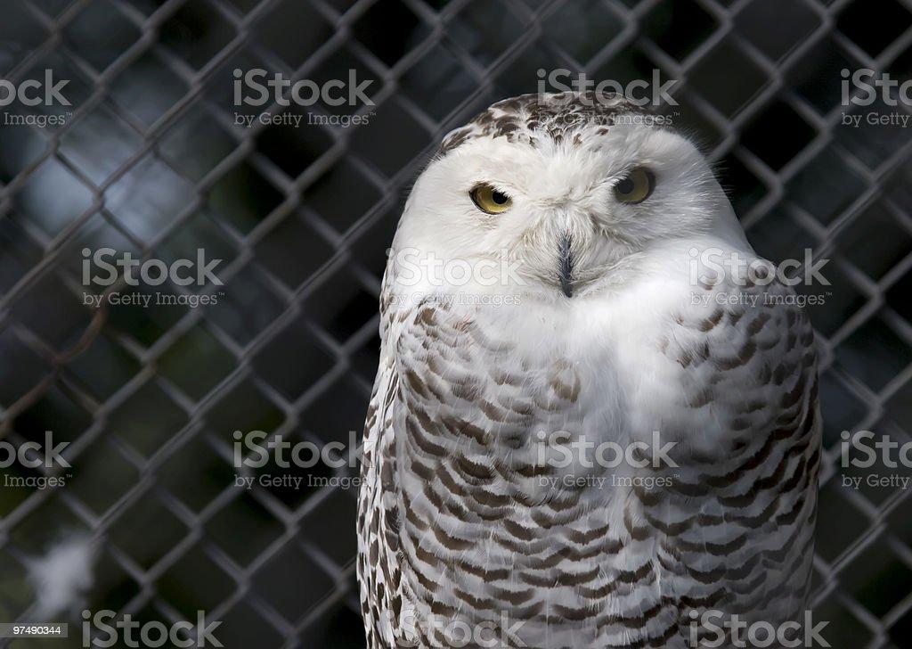 The Owl royalty-free stock photo